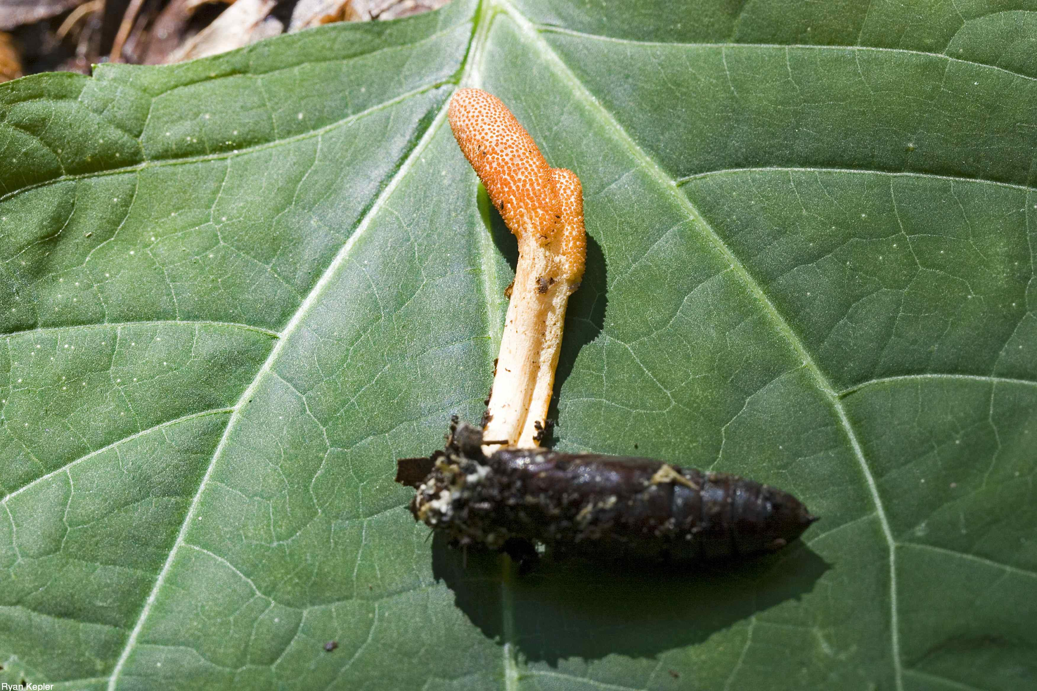 Cordyceps militaris (Ryan Kepler)